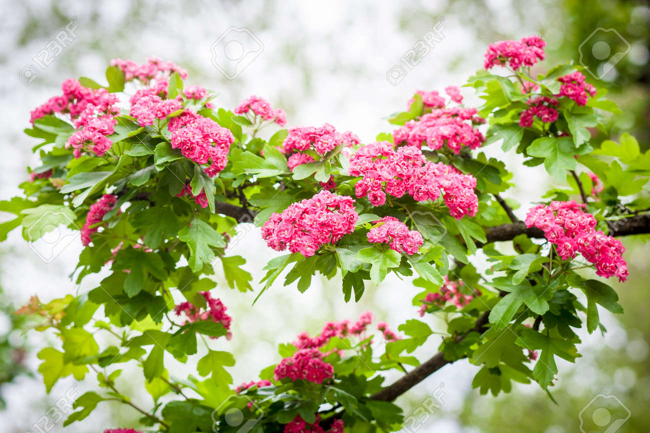 Pink flowering crabapple tree in central city park stock photo pink flowering crabapple tree in central city park stock photo 78314754 mightylinksfo
