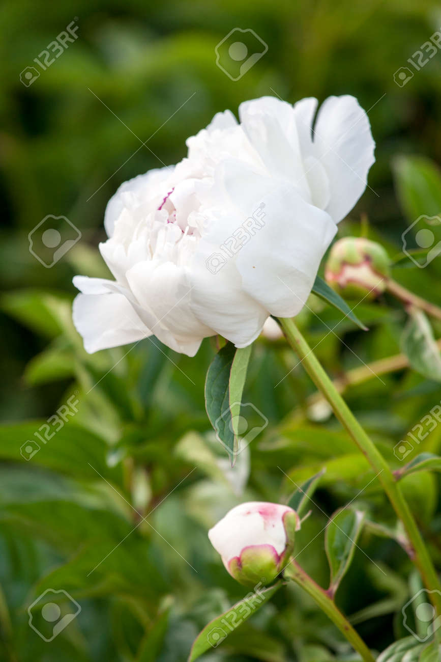 White Peonies Flowers In Garden Spring Perfume Stock Photo Picture