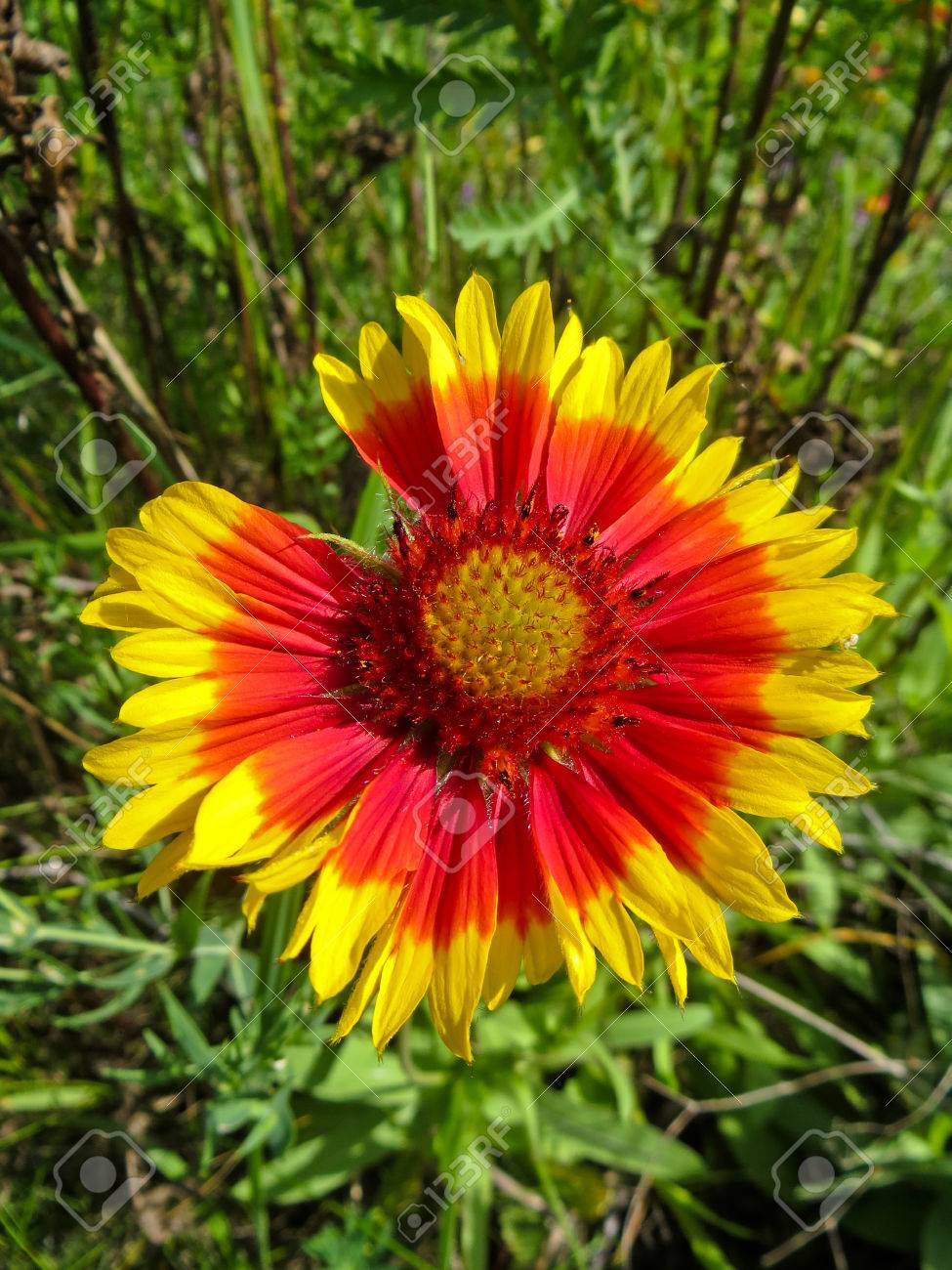 Gaillardia Blanket Flower In The Garden Stock Photo Picture And