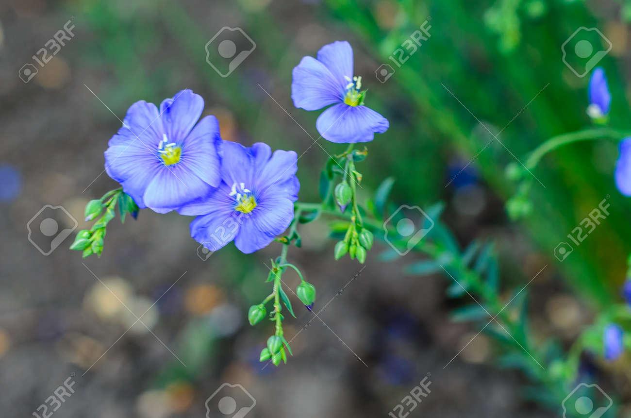 Blaue Leinen Blumen Im Garten Am Frühling Lizenzfreie Fotos, Bilder ...