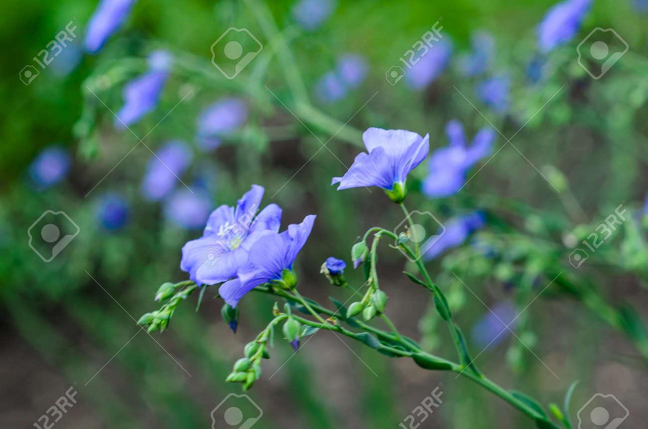 Garten blumen blau  Blaue Leinen Blumen Im Garten Am Frühling Lizenzfreie Fotos, Bilder ...