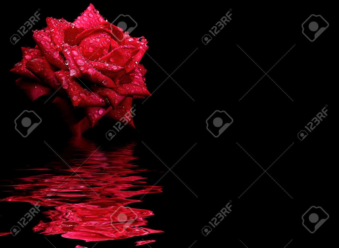 Immagini Stock Priorità Bassa Floreale Fiore Rosa Rosso Isolato