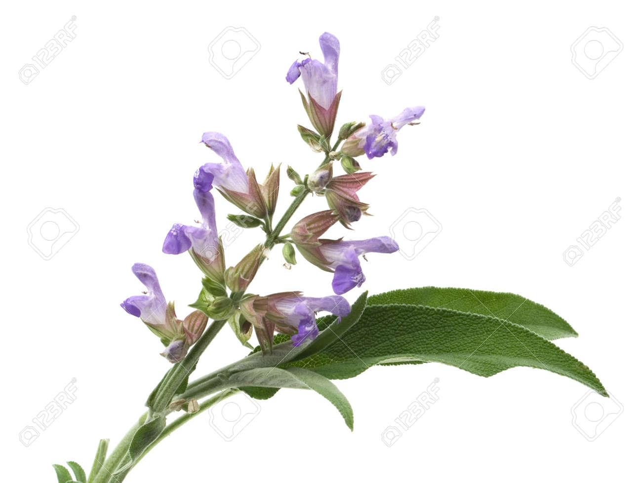Sage Lat Salvia Officinalis Flower And Leafs Isolated On White