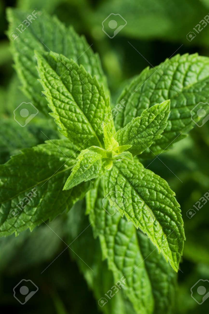 Mentha Piperita History Mentha Piperita Mint Leaves