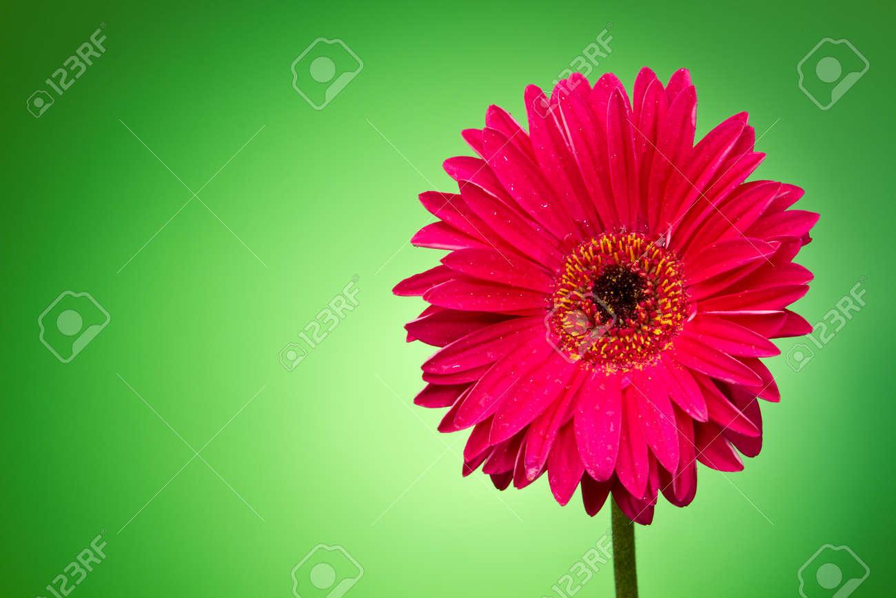Gerber flower on a green gradient Stock Photo - 10693279