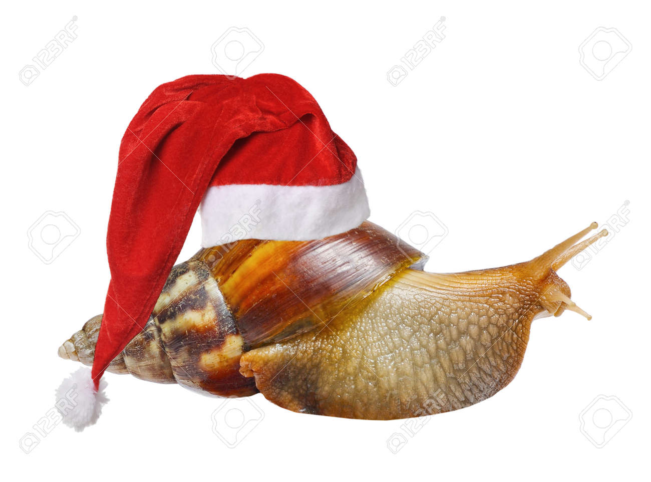 297c4d1252039 Big snail in Santa hat isolated on white background Stock Photo - 32781158