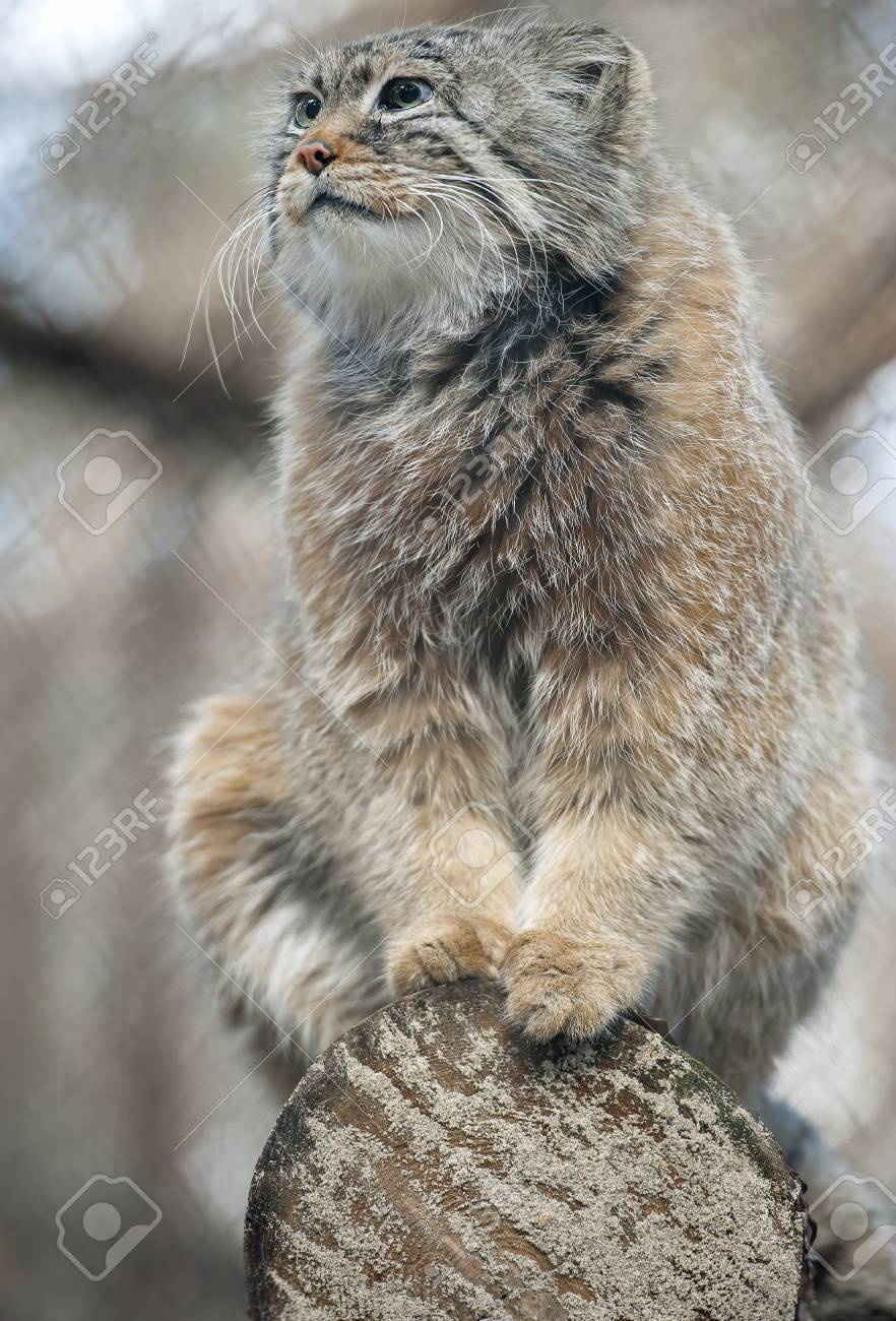 Pallas's cat (Otocolobus manul). Manul is living in the grasslands and montane steppes of Central Asia. Portrait of cute furry adult manul is sitting on the branches of a tree - 125775088