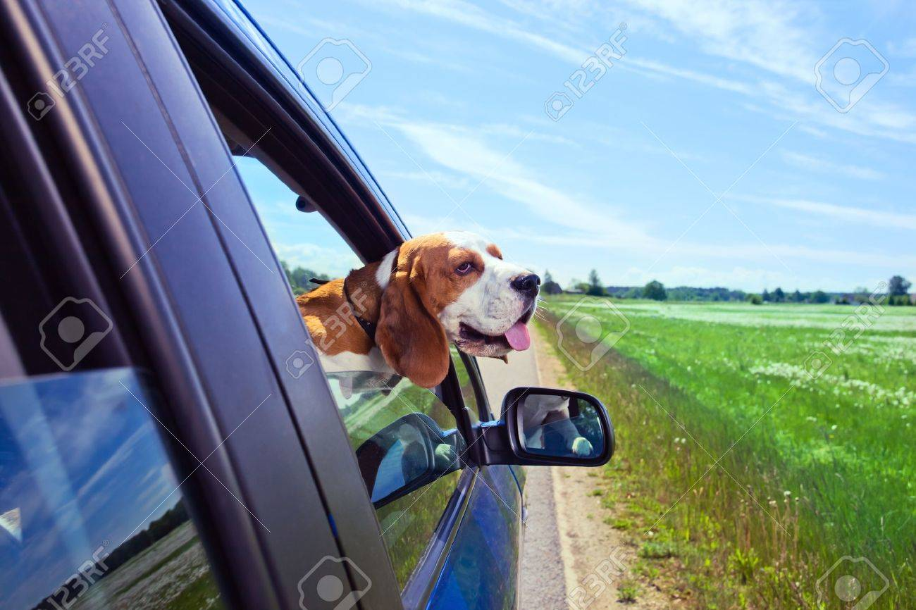 The cute beagle  travels in the blue car. Stock Photo - 13813547