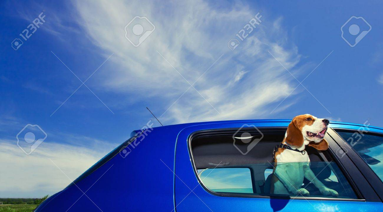 The cute beagle  travels in the blue car Stock Photo - 14176273