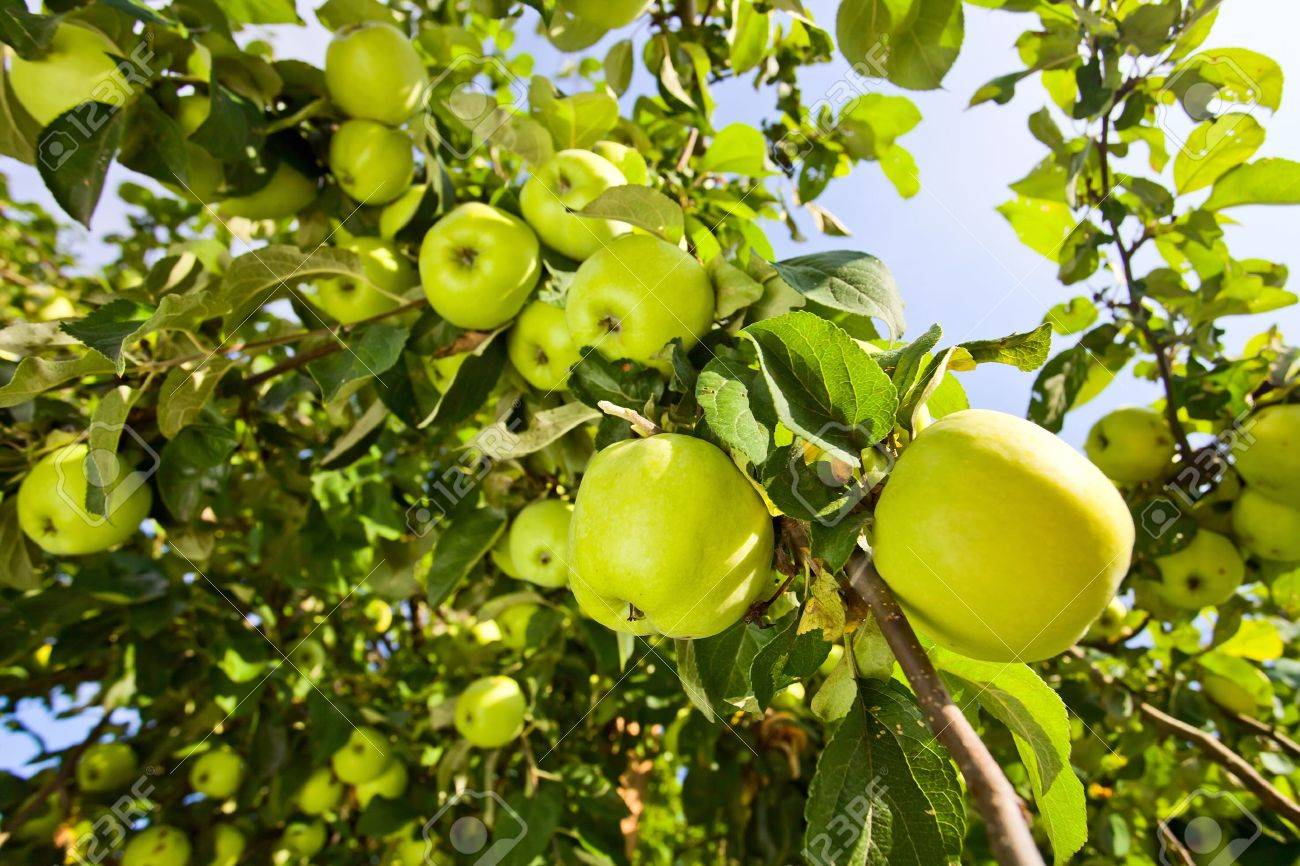 green apple fruit tree. green apples on a tree in orchard stock photo - 14907153 apple fruit ,