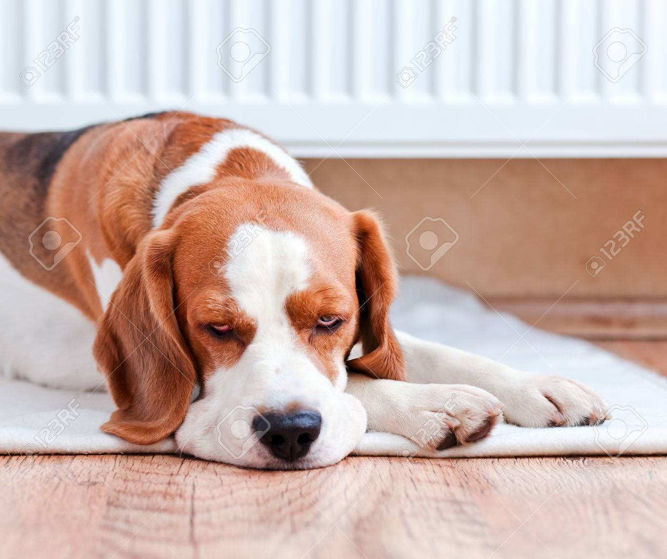 The dog has a rest on wooden to a floor near to a warm radiator Stock Photo - 22967402