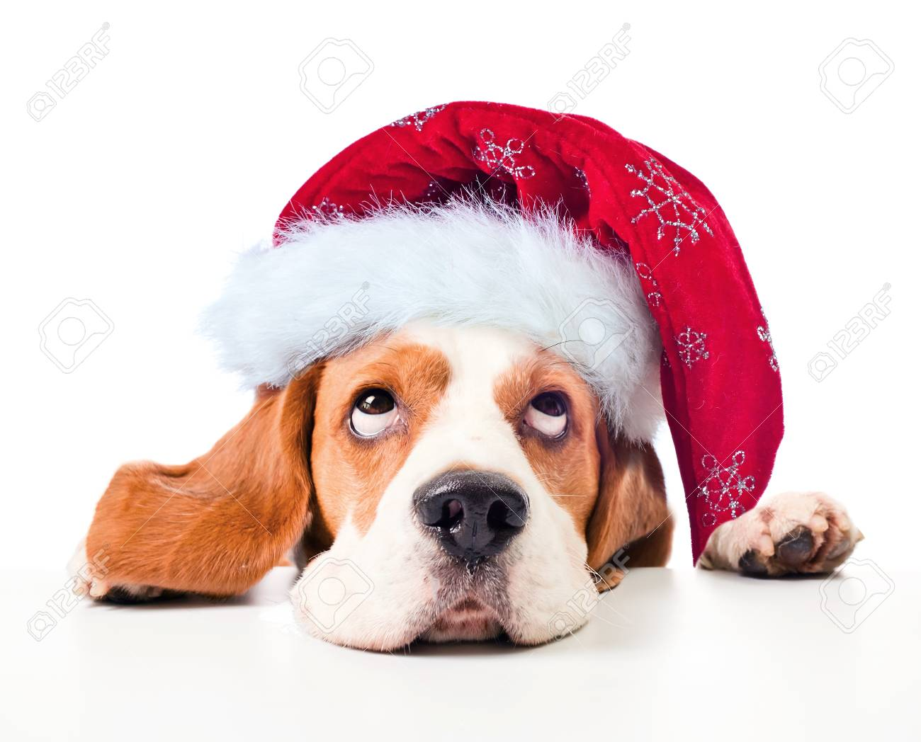 Cute Beagle Puppy In A Red Santa Hat Isolated On White Background Stock Photo Picture And Royalty Free Image Image 90904703
