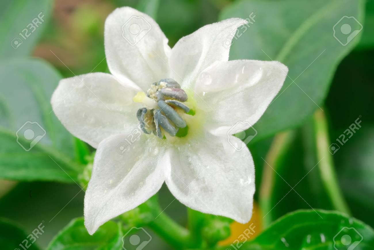 パプリカの花のマクロ 写真素材 , 2941871