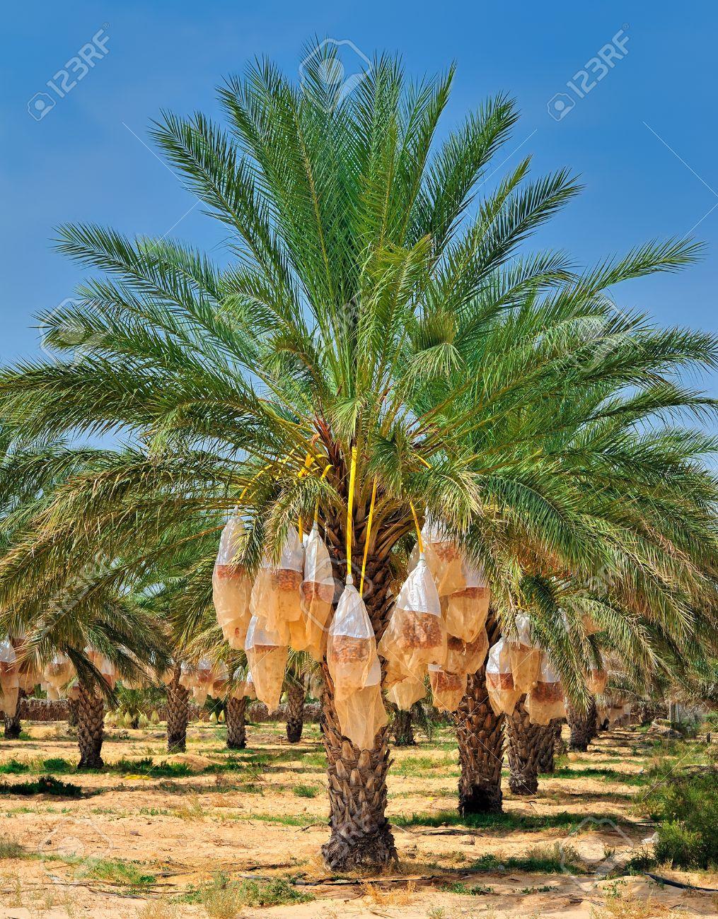 Date palm tree before harvesting. Tunisia, Africa Stock Photo - 10823509