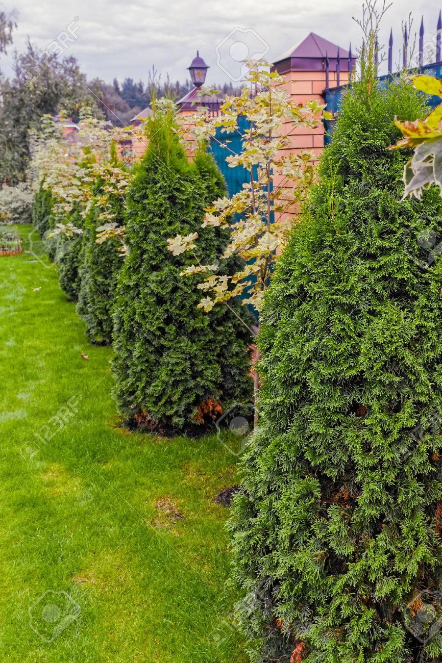 szczegóły wysoka jakość najbardziej popularny Fila árboles de arce y setos de hoja perenne thuja a lo largo de la valla