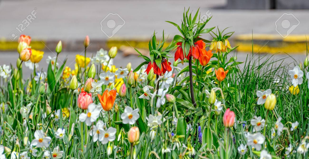 Crown Imperial Flowers Fritillaria Imperialis In Orange And