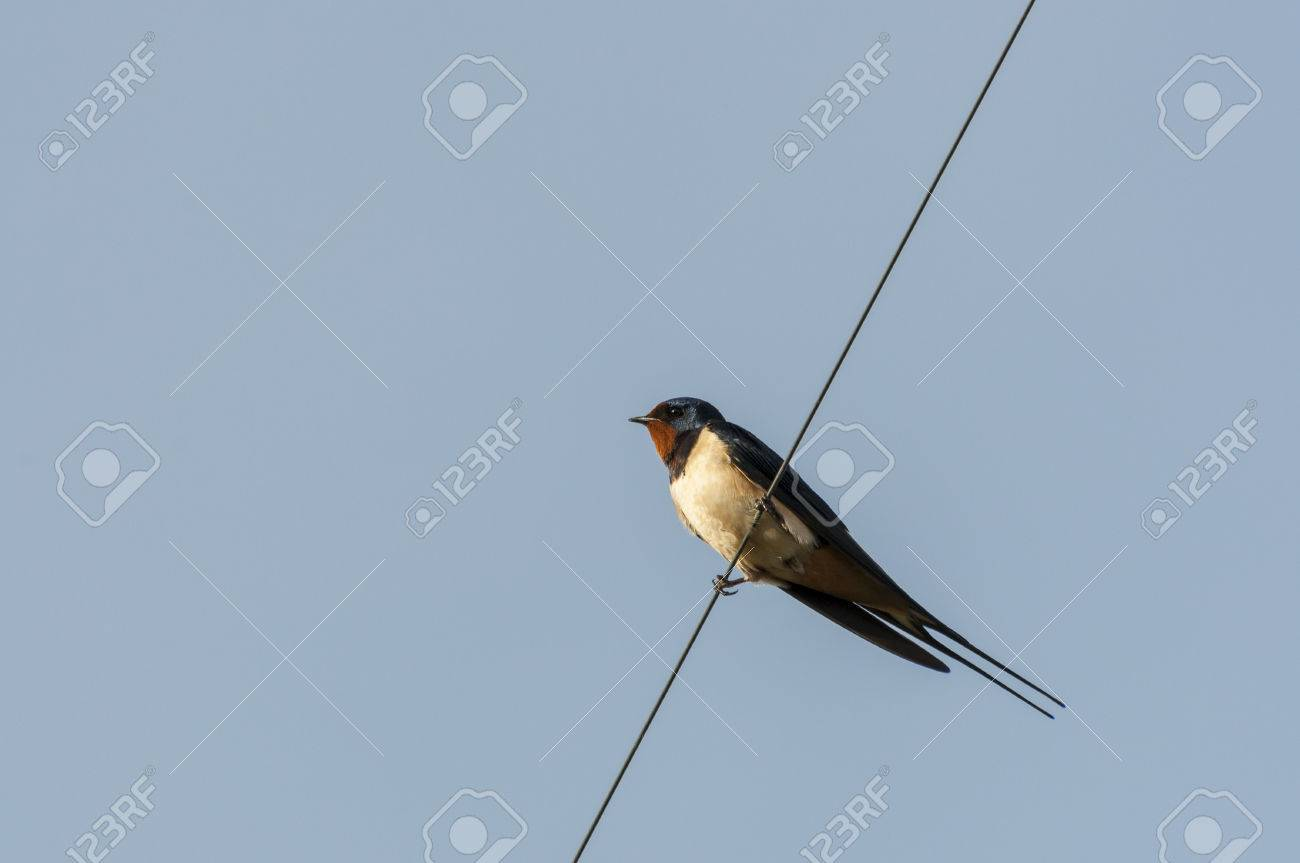 Barn Swallow Perched On A Wire. Photo Taken In Ciudad Real Province ...