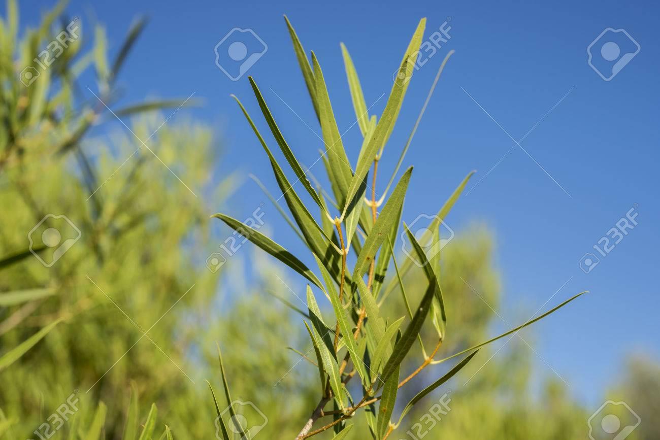 Phillyrea à identifier 83016601-feuillage-de-phillyrea-angustifolia-c-est-une-esp%C3%A8ce-de-la-famille-des-ol%C3%A9ac%C3%A9es-originaire-de-la-r%C3%A9gion-m