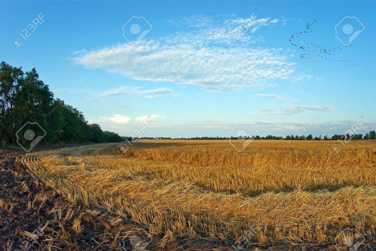 Fields of gold Stock Photo - 7808845