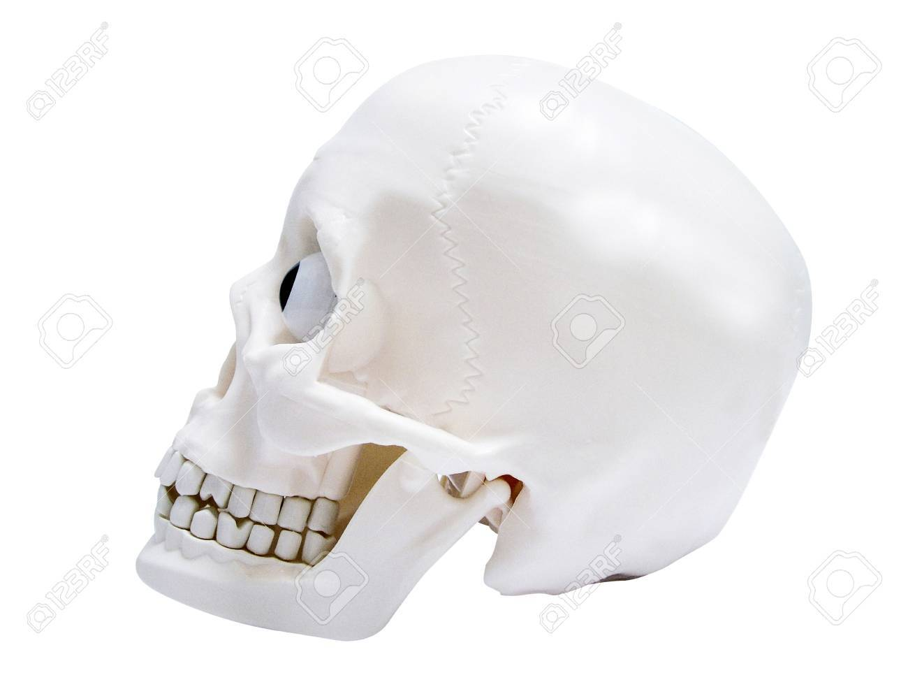 Model skull Stock Photo - 3192703