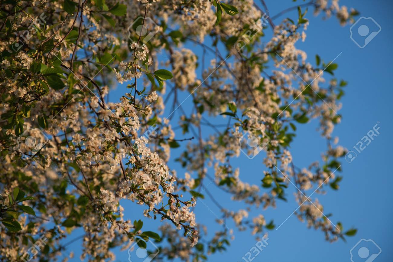 White Flowering Trees On A Background Of Blue Sky Stock Photo