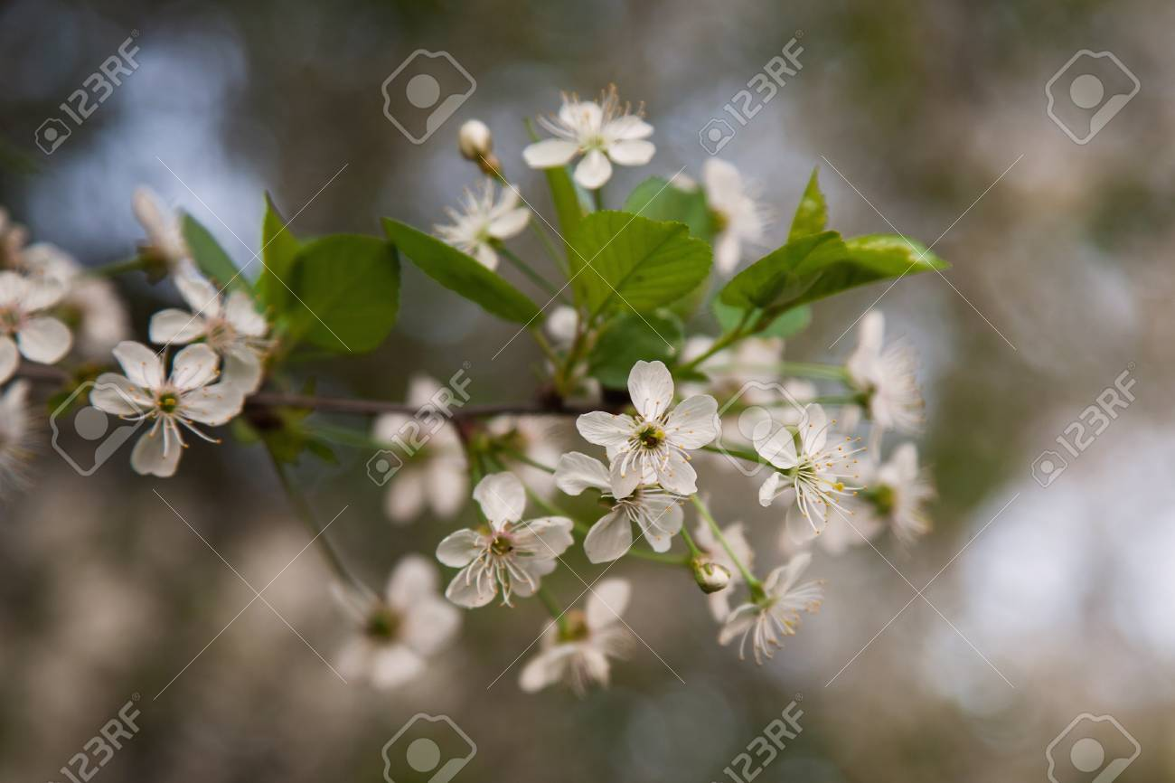 White Flowering Trees Cherry Blossoms Stock Photo Picture And