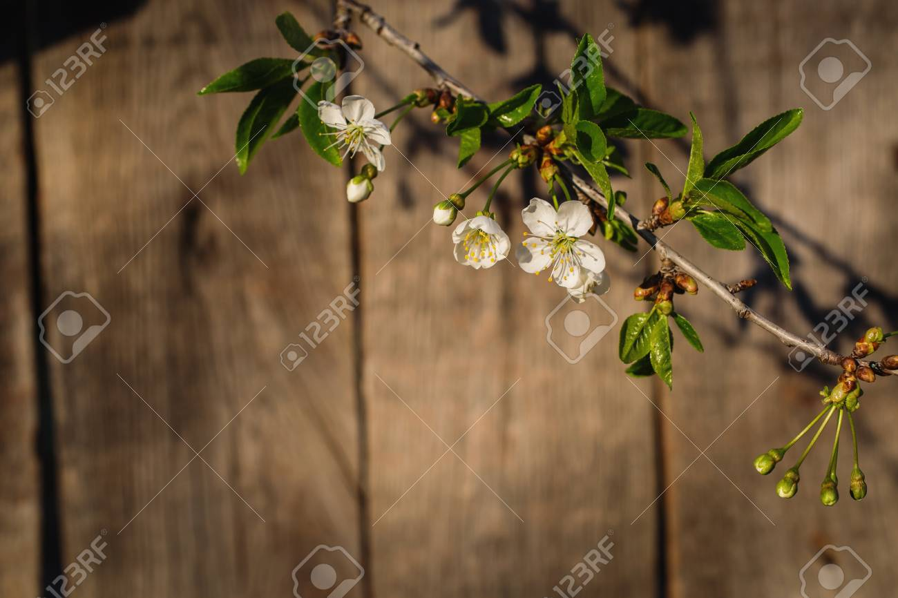 Cherry Blossoms Against A Background Of A Wooden Fence White