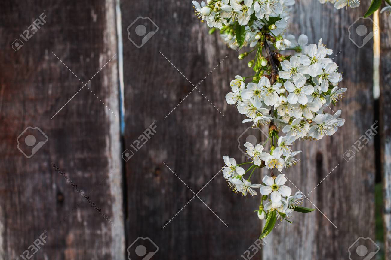 Cherry Blossom Against A Background Of A Wooden Fence White Stock