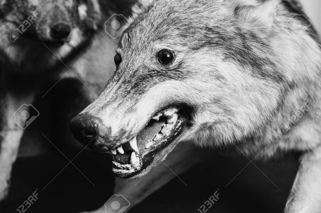 Black and white art photography monochrome muzzle the wolf close up