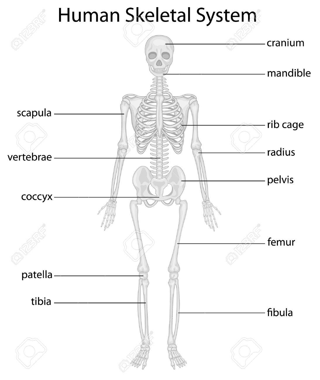 Illustration of skeletal system with labels - 13494318