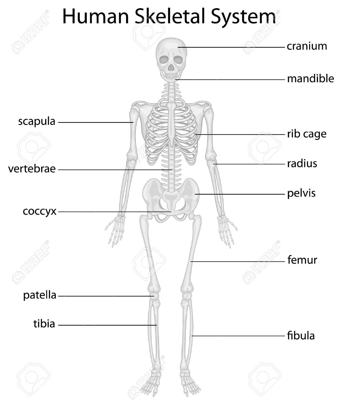 Illustration Of Skeletal System With Labels Royalty Free Cliparts ...