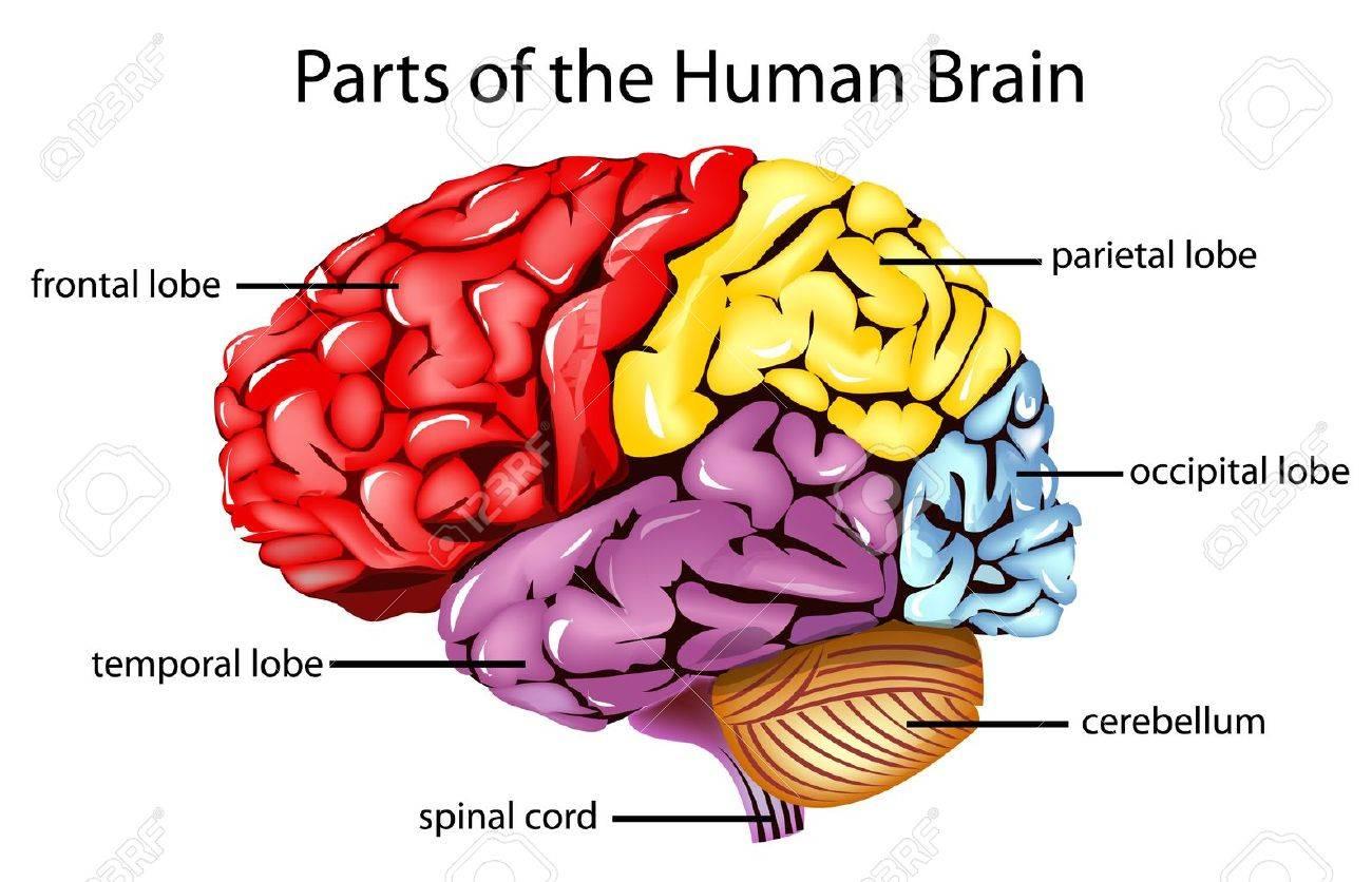 Ilustración De Las Partes Del Cerebro Ilustraciones Vectoriales ...