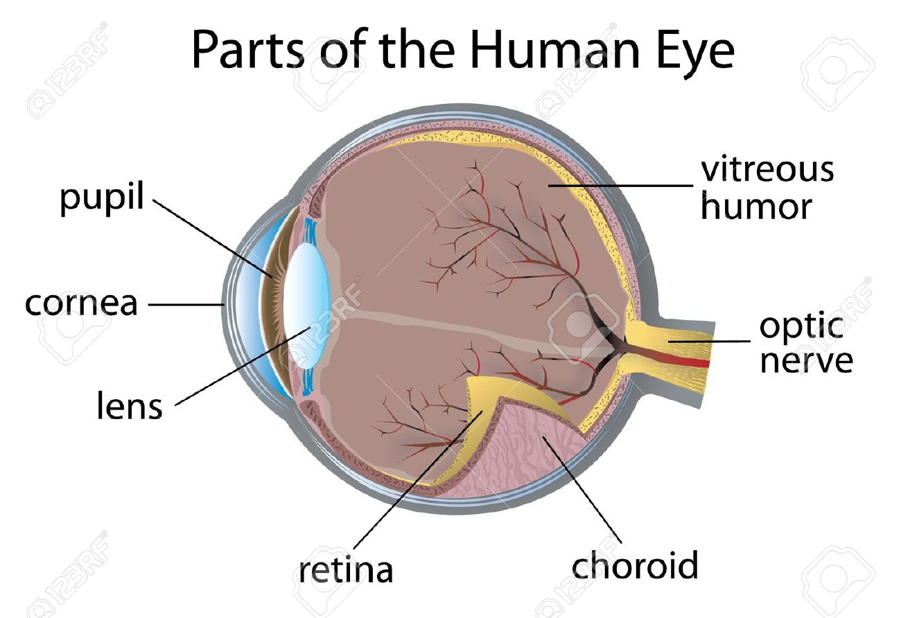 Ilustración De Las Partes Del Ojo Humano Ilustraciones Vectoriales ...