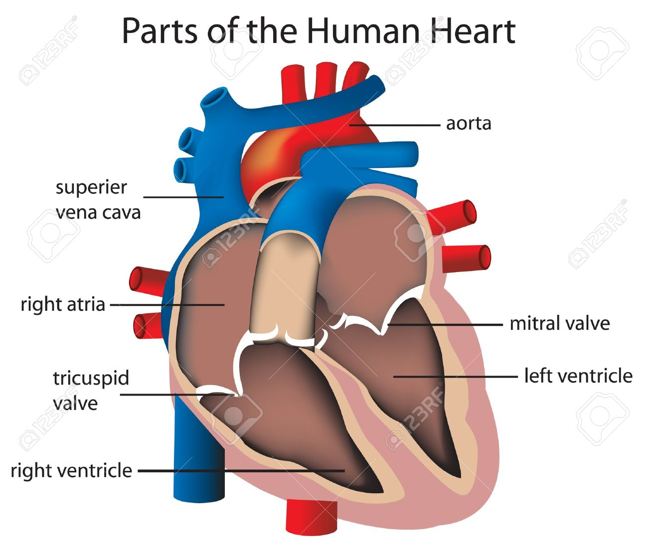 Illustration Of Parts Of The Heart Royalty Free Cliparts, Vectors ...