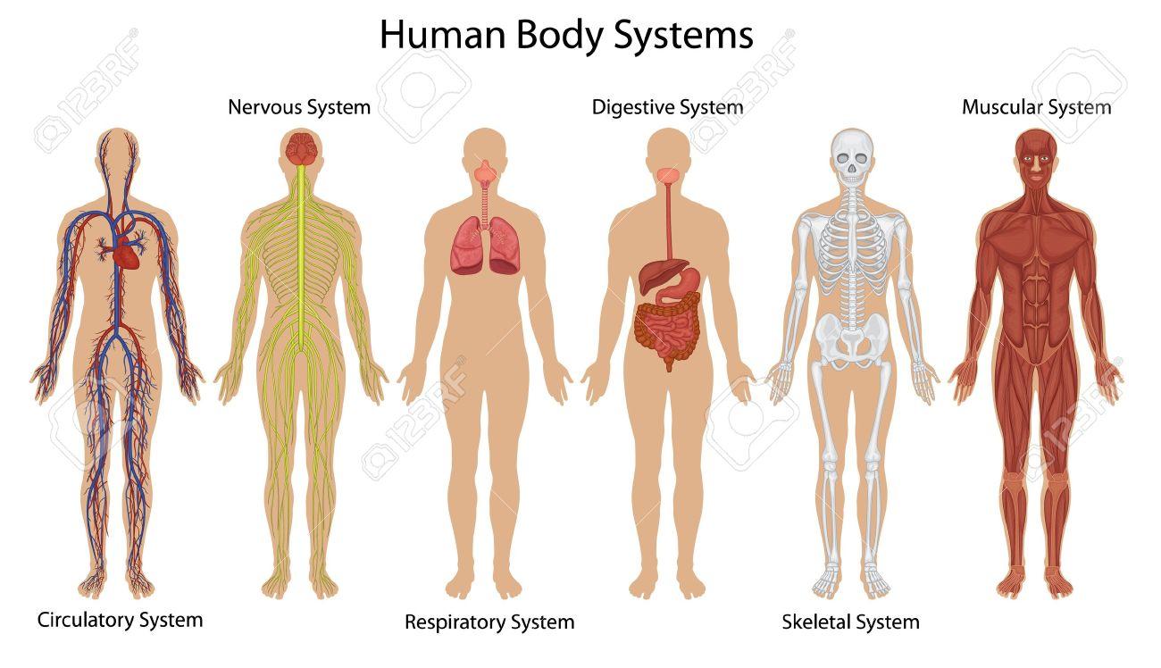 Darstellung Des Menschlichen Körpers Systeme Lizenzfrei Nutzbare ...