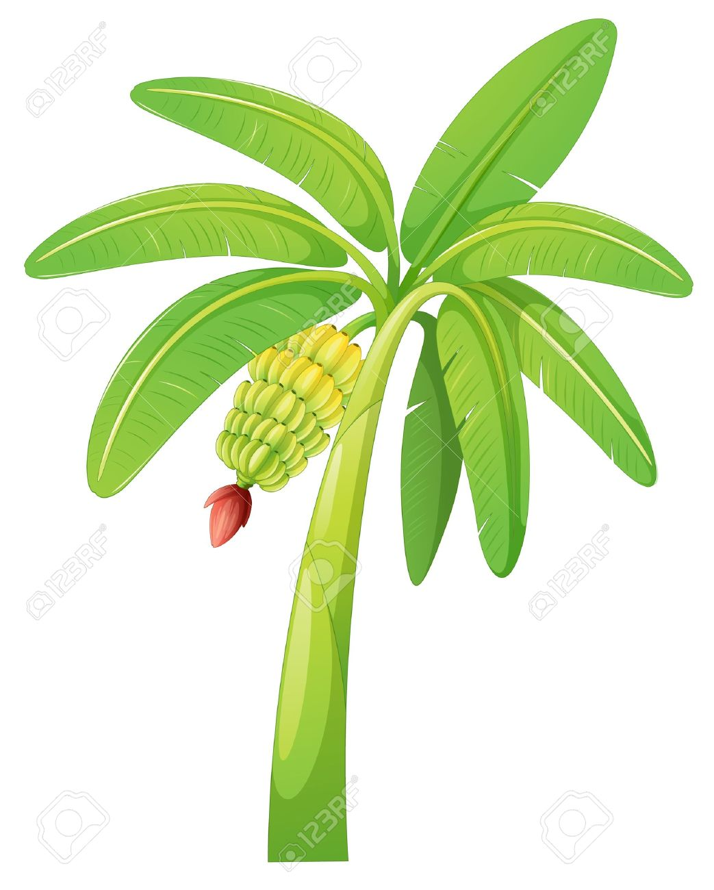 Illustration Of Banana Tree On A White Background Royalty Free Cliparts Vectors And Stock Illustration Image 14764759