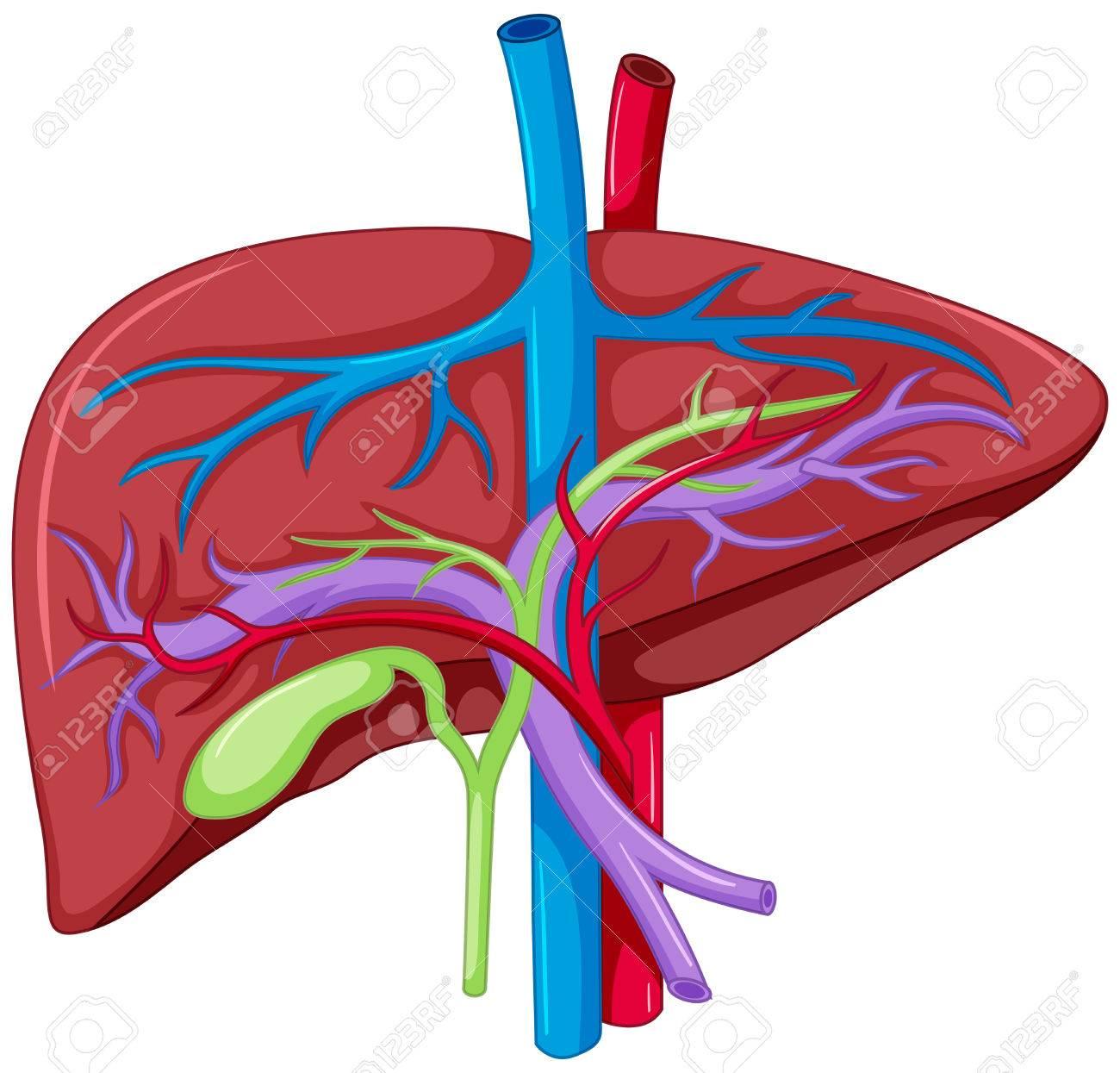 Cierre De Diagrama Del Hígado Ilustración De La Anatomía ...