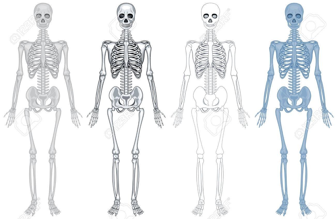 Diagrama Diferente De La Ilustración Esqueleto Humano Ilustraciones ...
