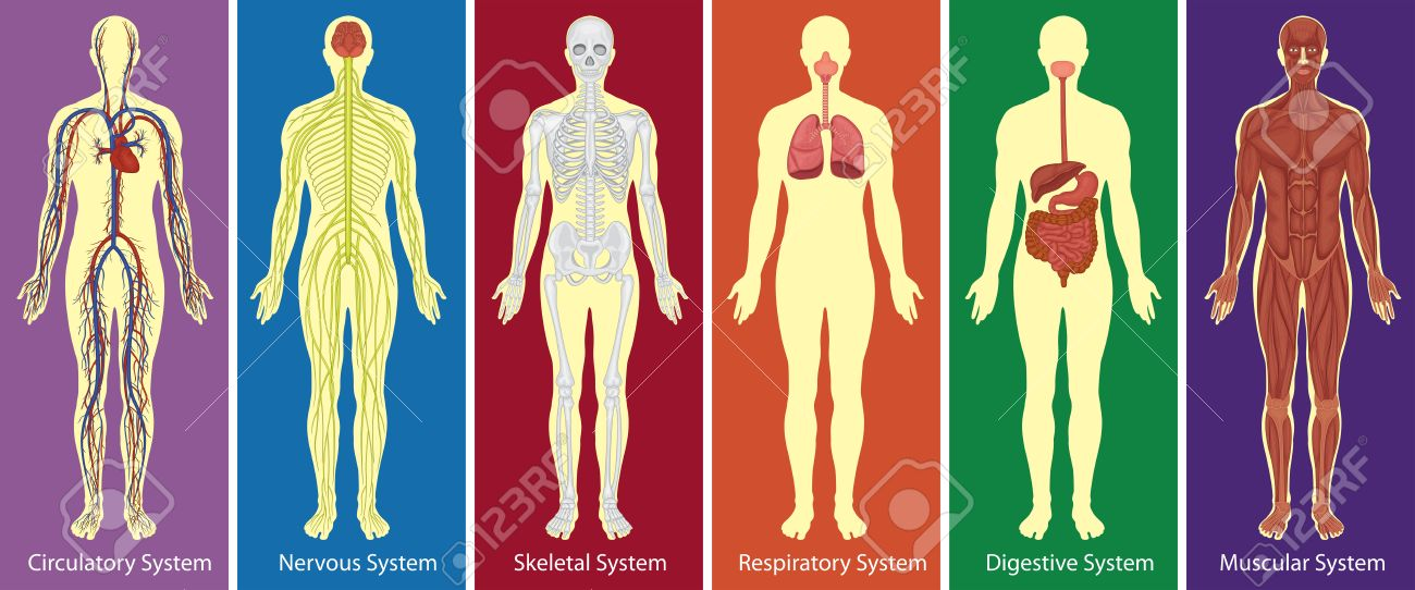 Different systems of human body diagram illustration - 58502932