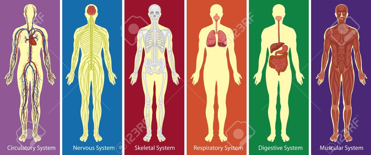 Los Diferentes Sistemas Del Cuerpo Humano Diagrama De La Ilustración ...