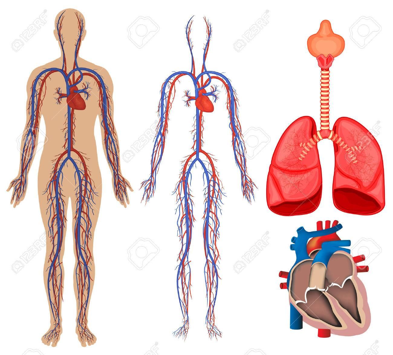Atemberaubend Sehnen Im Menschlichen Körper Ideen - Anatomie Ideen ...