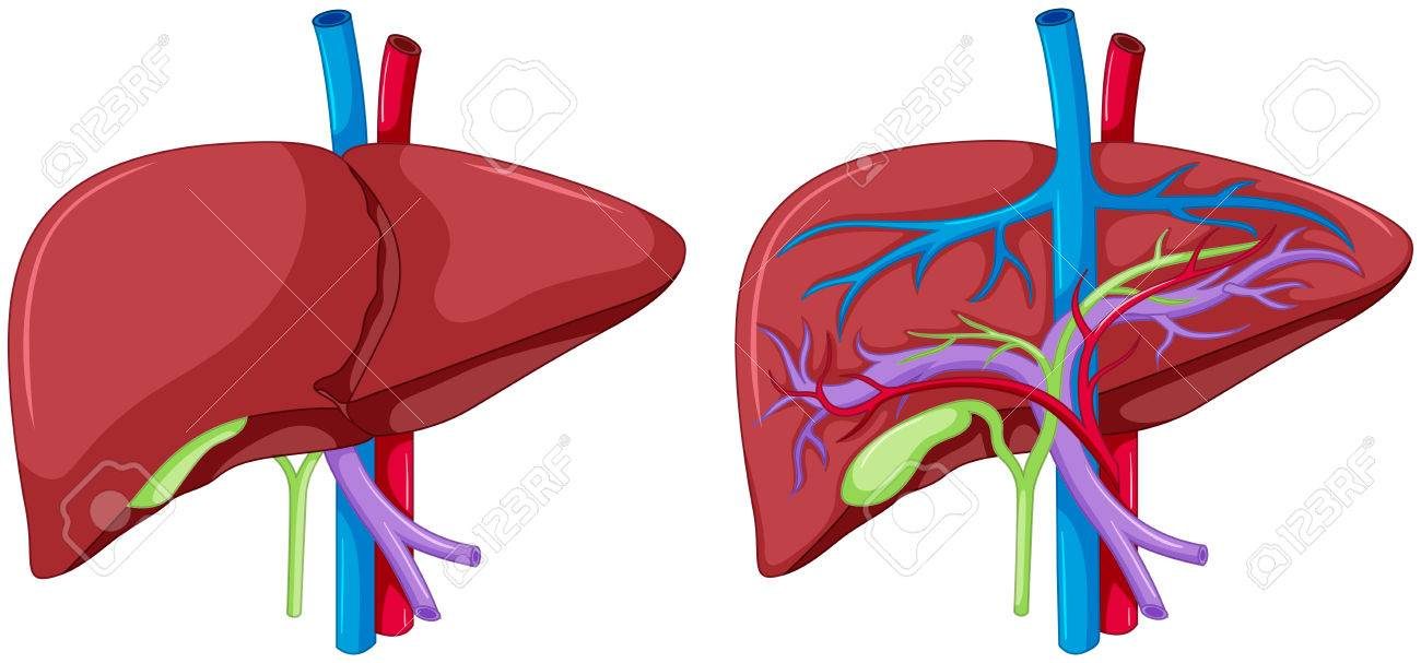 Two Diagram Of Liver Anatomy Illustration Royalty Free Cliparts ...
