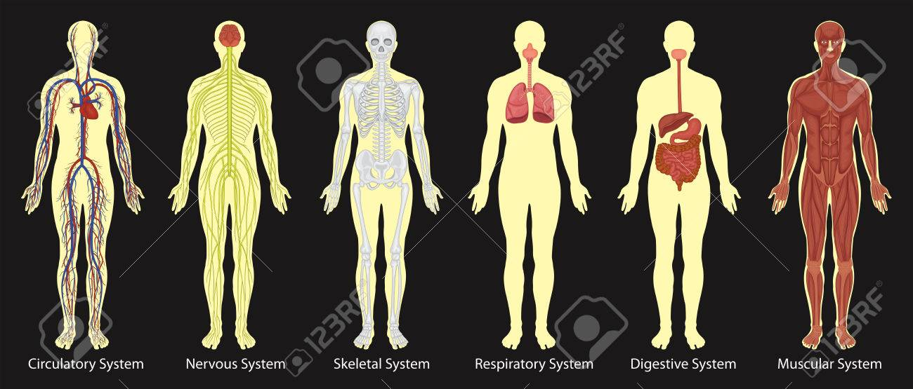 Diagram Of Systems In Human Body Illustration Royalty Free Cliparts