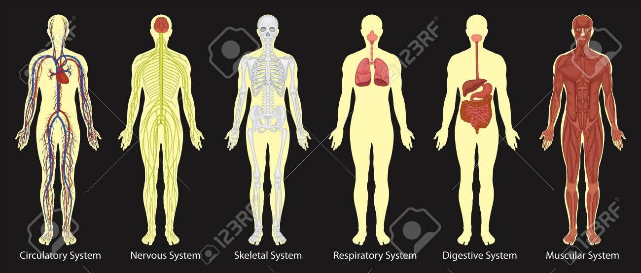 Diagrama De Los Sistemas En La Ilustración Del Cuerpo Humano ...