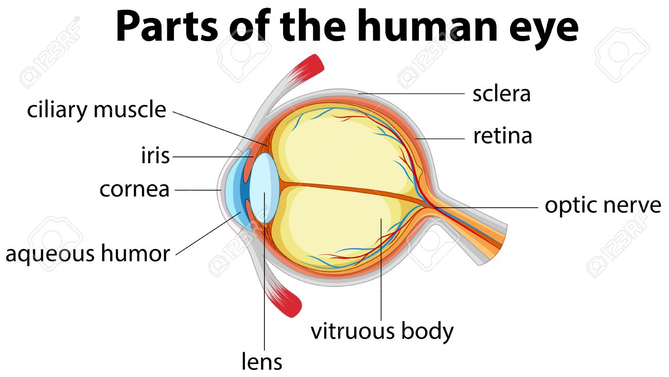 parts of human eye with name illustration royalty free cliparts, Human Body