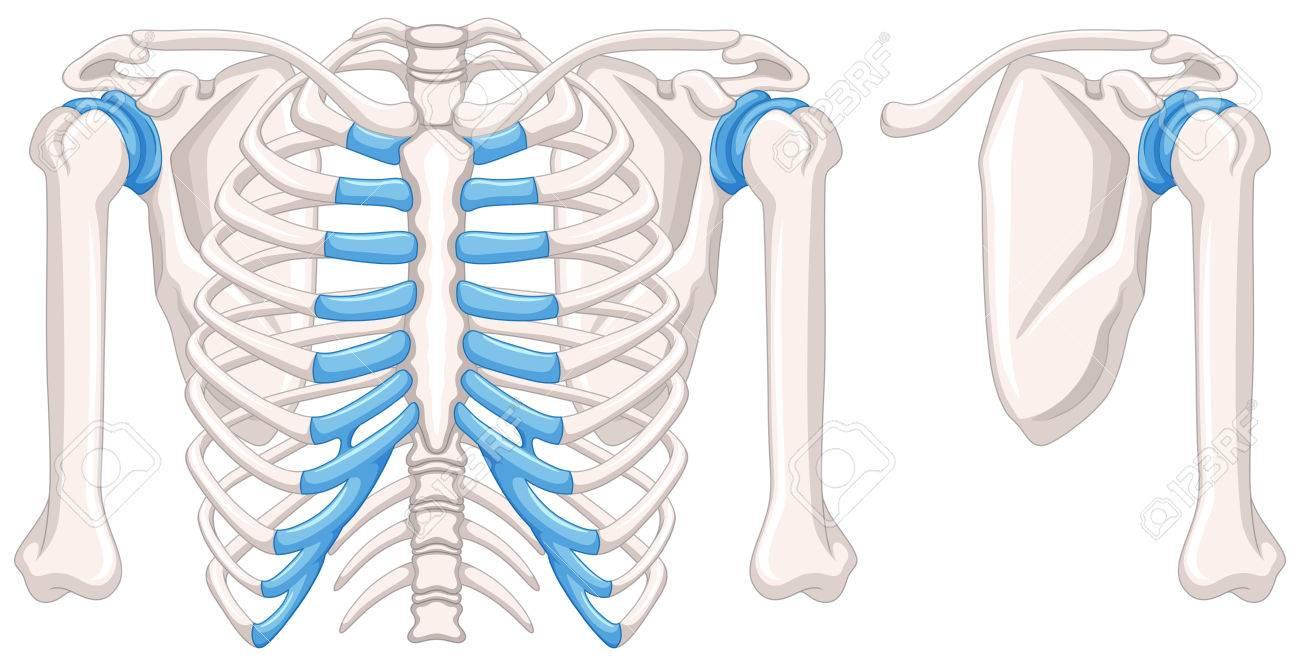 Diagrama Que Muestra Los Huesos Del Hombro Ilustración Ilustraciones ...