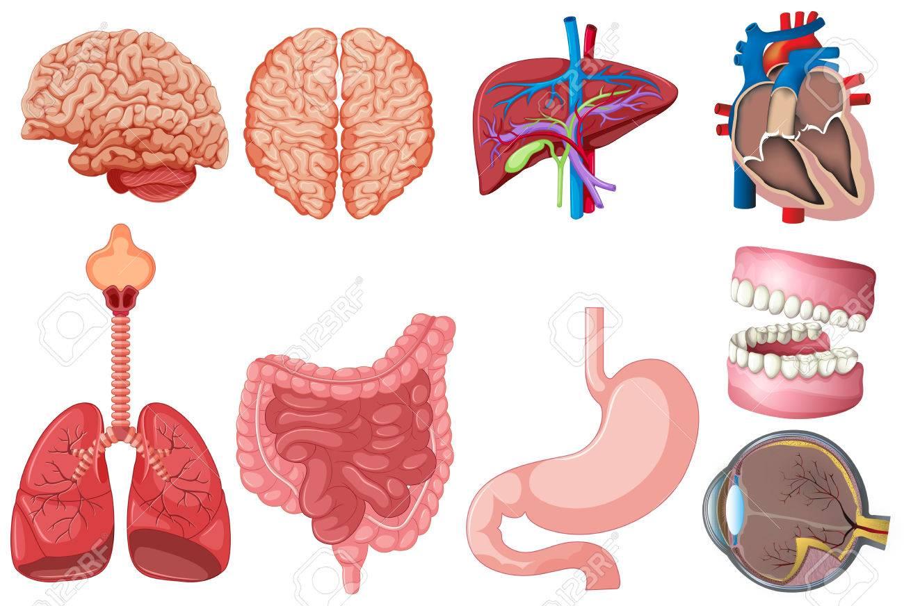 Set Of Human Anatomy Illustration Royalty Free Cliparts, Vectors ...