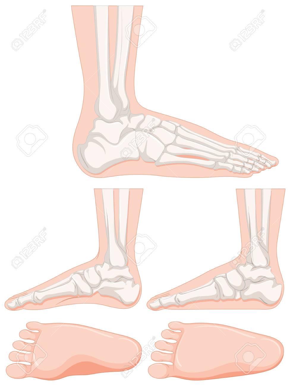 Charmant Knochen Des Knöchels Und Des Fußes Fotos - Anatomie Ideen ...