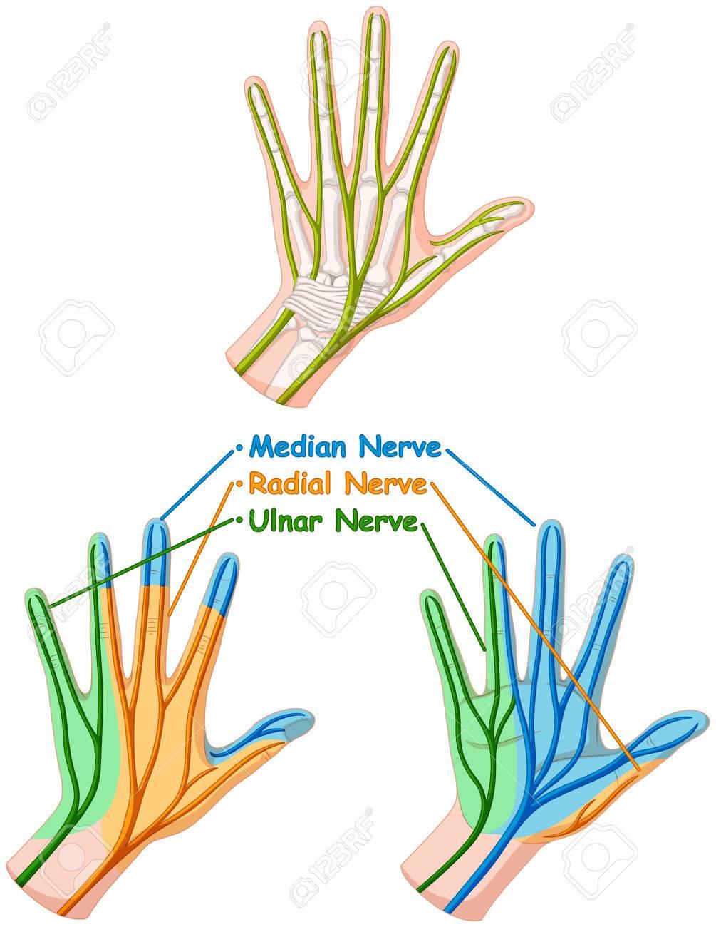 Diagrama De Color Que Muestra A Mano Ilustración De Los Nervios ...