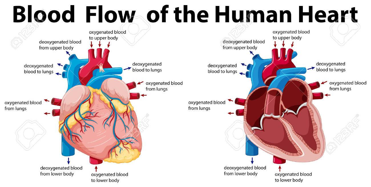 Blood Flow Of The Human Heart Illustration Royalty Free Cliparts ...